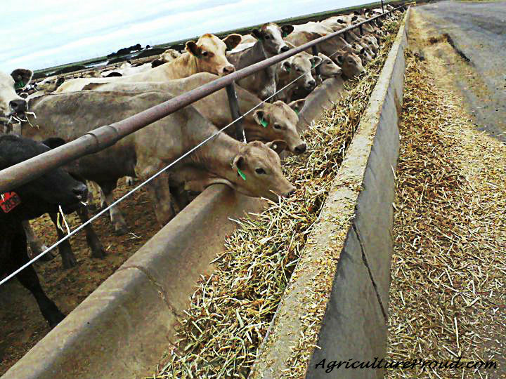 Ask A Farmer: What do feedlot cattle eat?